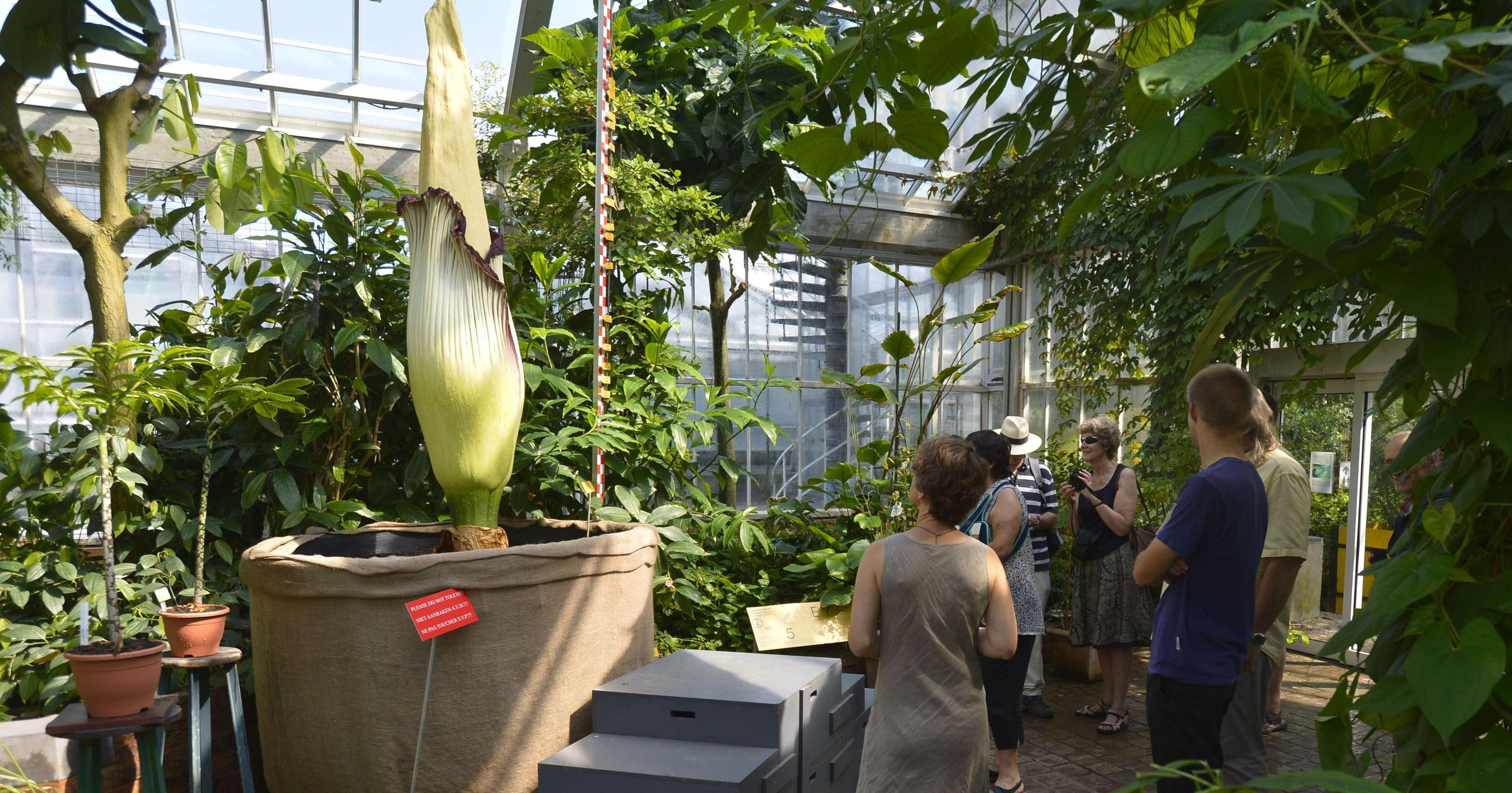 Giant corpse flower blooms in Washington D C