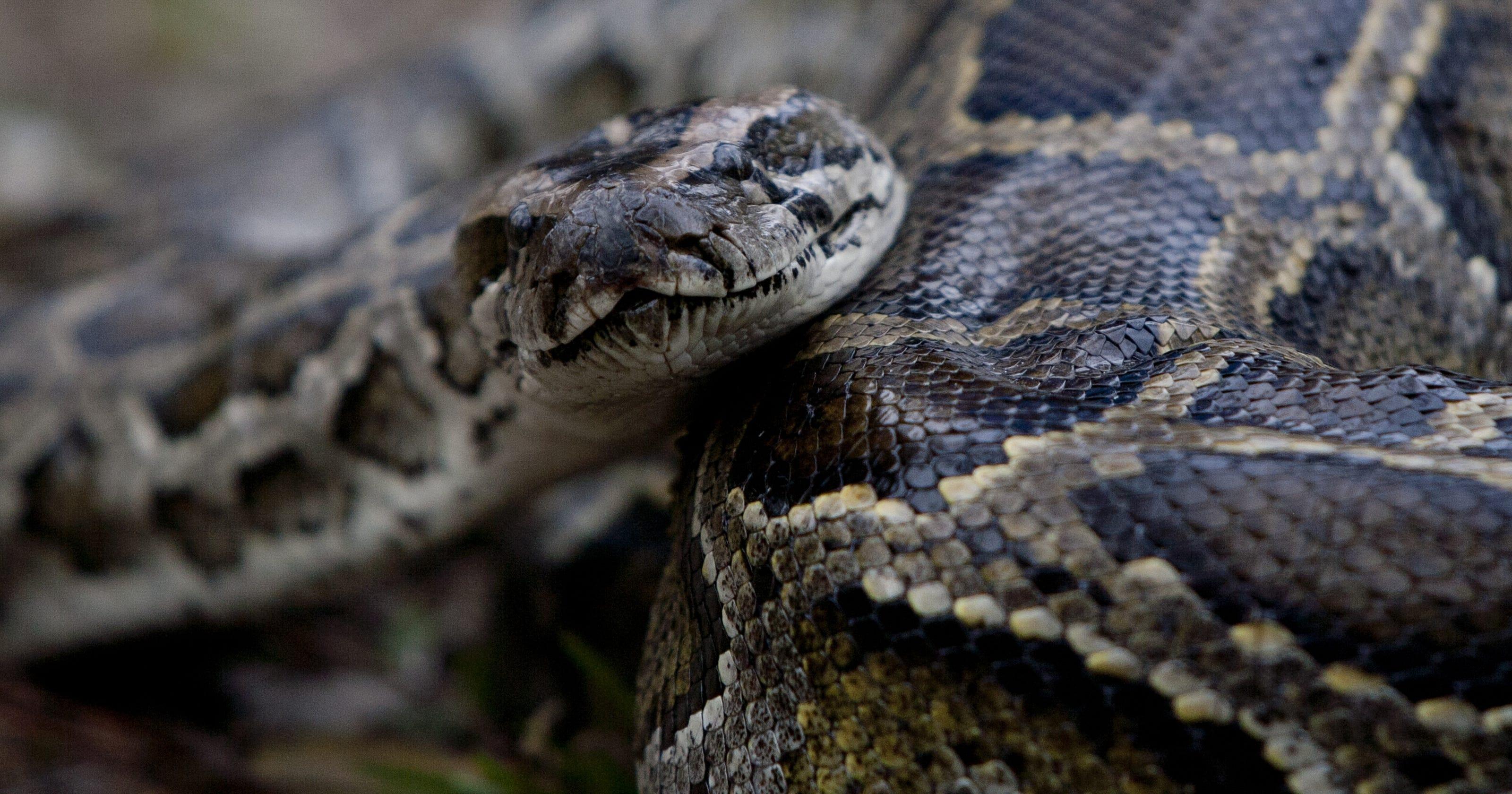 Everglades Python Hunt Draws Guns Knives Drills