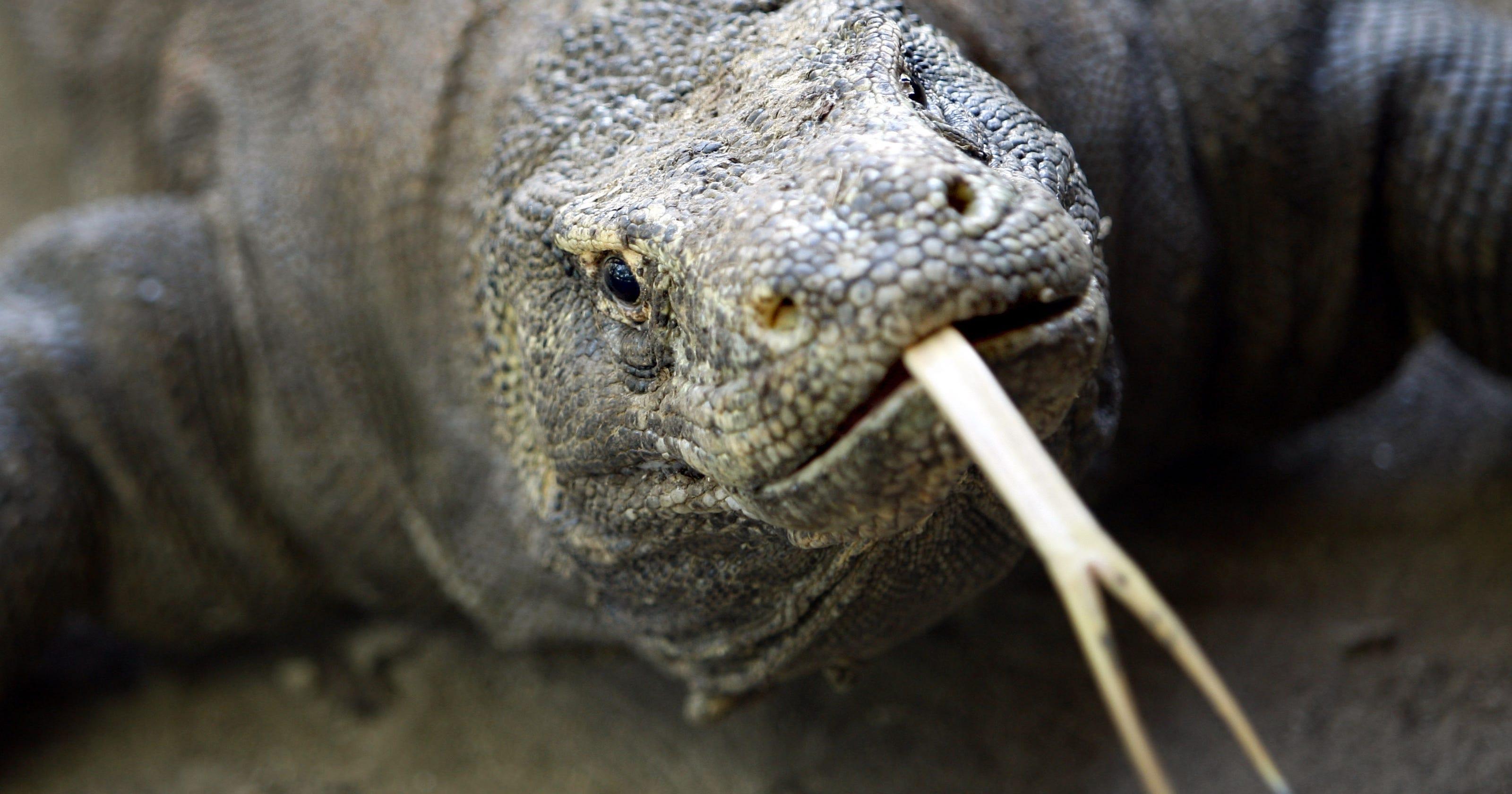 Komodo dragon lumbering into Calgary Zoo | Calgary Herald