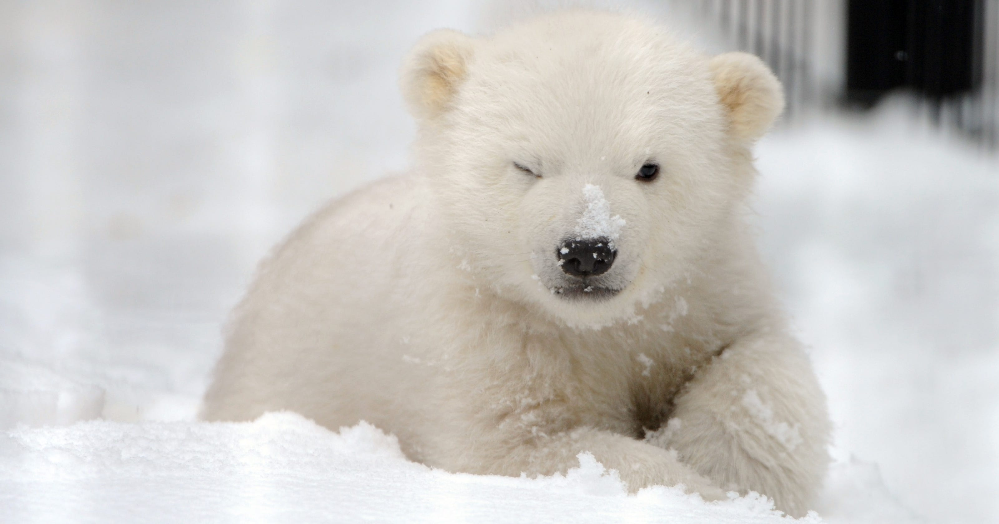 Cute Kali: Orphaned Polar Bear Cub Prepares For Move