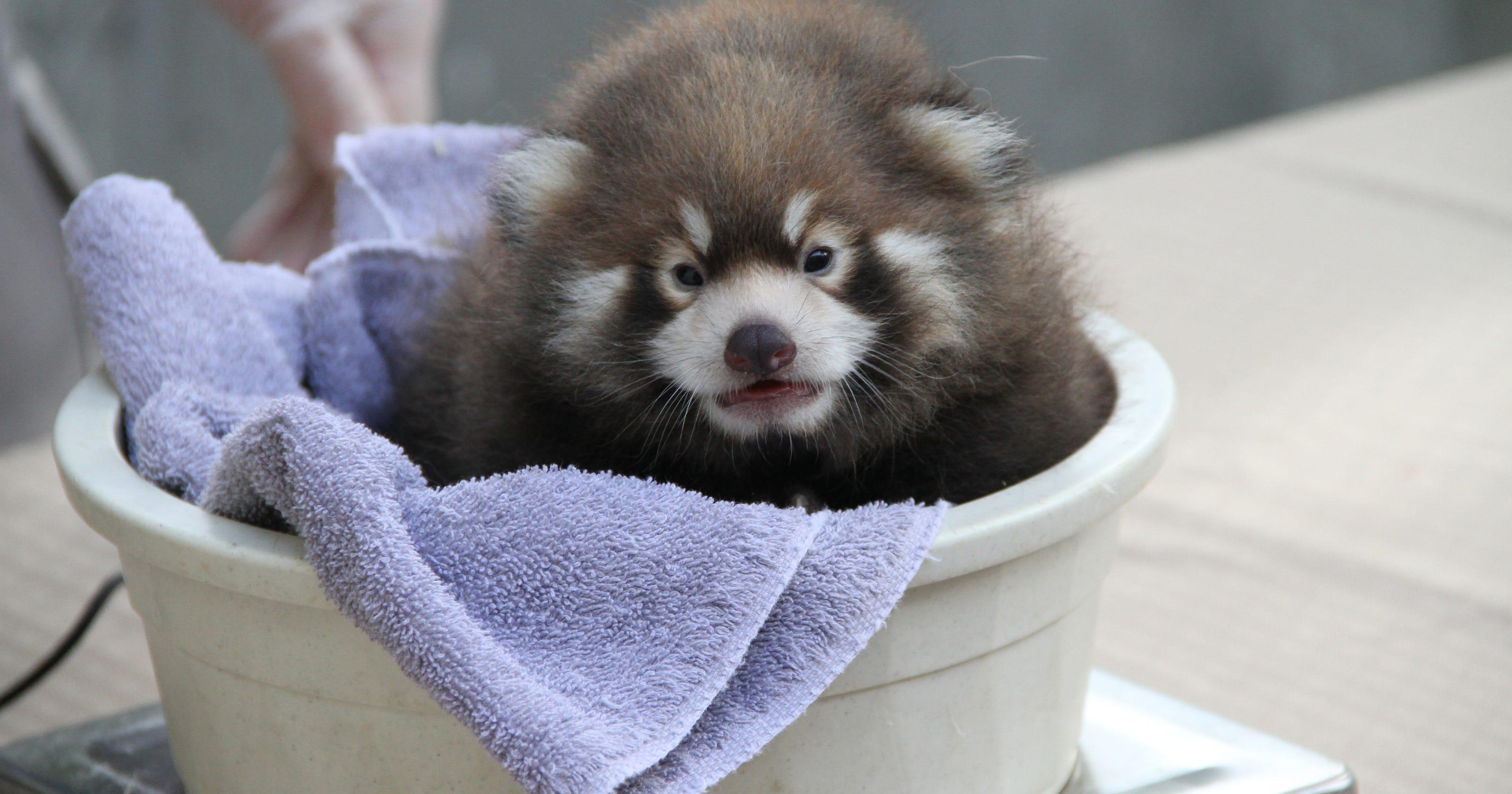 new york zoo has rare red panda birth