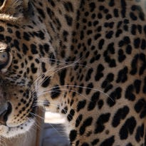 Meet Oz: A spotted leopard at the Monterey Zoo