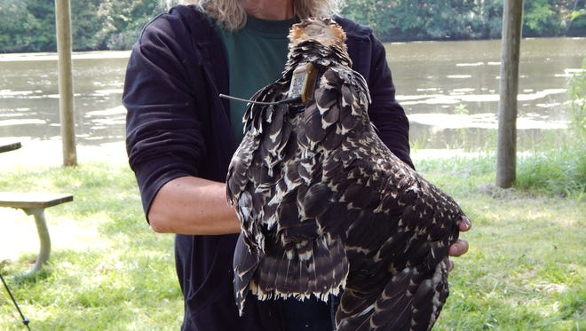 An osprey is outfitted with a GPS telemetry backpack unit.