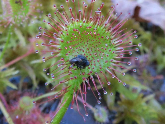 Predatory round-leaved sundew blooms with tiny white flowers.