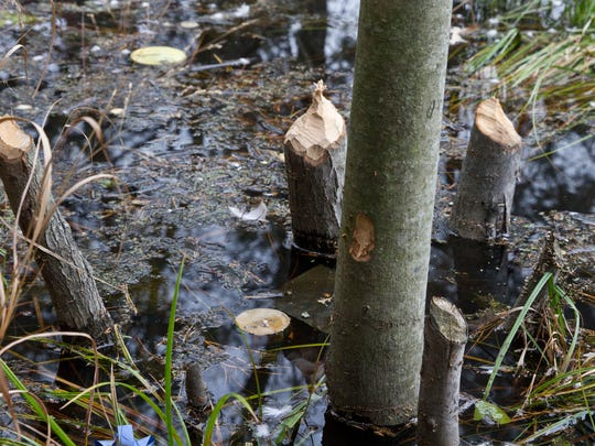 Fresh beaver cuts along the lake shoreline. Beavers are wreaking havoc for residents along Lake Placid Drive and Oak Glen Road by clogging the drainage systems along the lake between the two roads.Toms River, NJWednesday, November 18, 2015@dhoodhood
