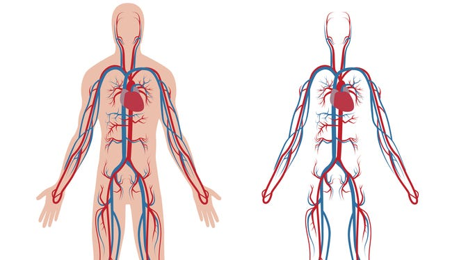 The venous system is a vast network of blood vessels stretching from head to toe that returns blood to the heart.