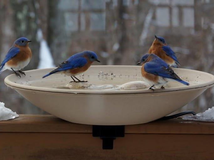 4 Bluebirds came for a bath at our heated birdbath on Feb. 18, 2014 in Fishkill, NY. Submitted by Joyce O'Connell