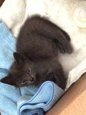 This kitten was found alive but suffering from multiple fractures after it was abandoned near the County Road 4 and 10 roundabout.
