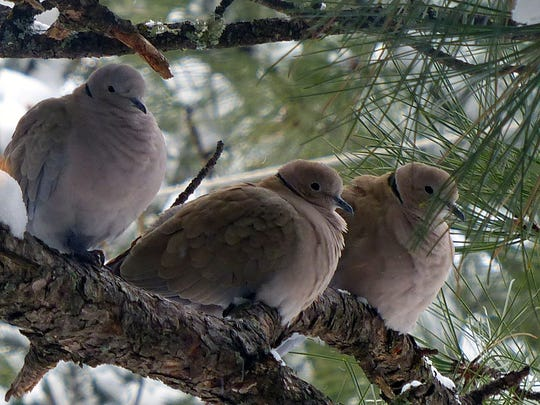 A few banded doves huddle together in the snow.