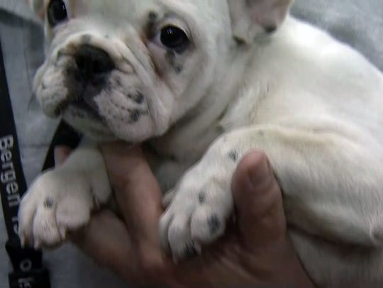 The Bergen County SPCA rescued 26 French and English