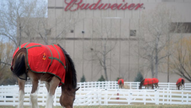 Clydesdales graze at the Anheuser-Busch Fort Collins Brewery.