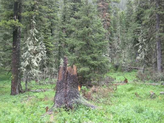 Trees around the popular Crystal lake Campground are hazardous due to root rot and stem decay.