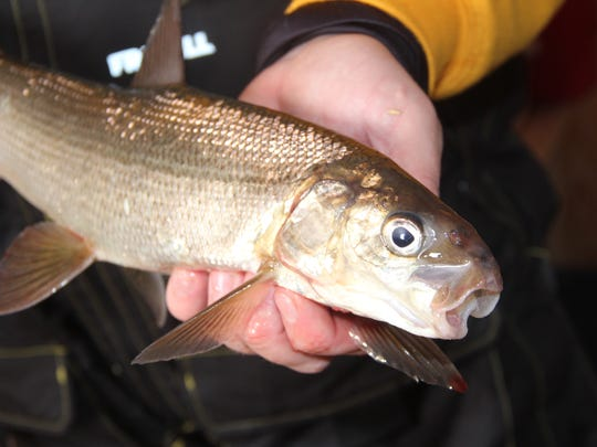 A lake whitefish is held by an angler after it was caught on an ice fishing outing on Green Bay.