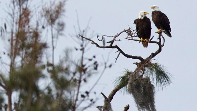 Two bald eagles keep watch over the landscape at the Lakeside Ranch Stormwater Treatment Area owned by the South Florida Water Management District in western Martin County in this file photo taken in February 2016.