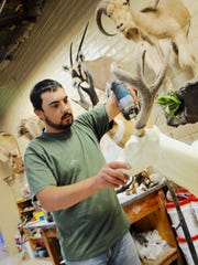 Ryhan Peralta, works on a taxidermy project by applying