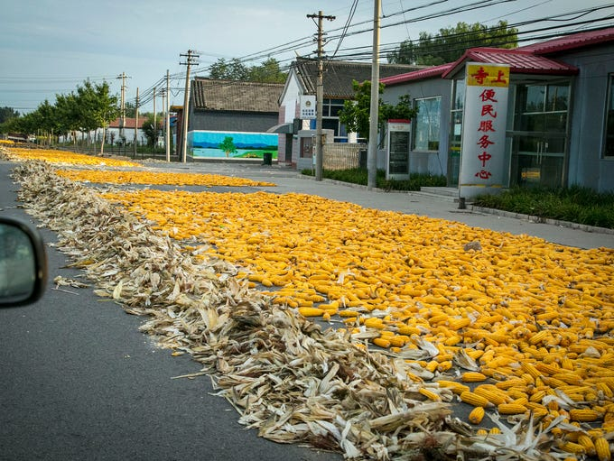 Corn is hand picked and left to dry on the highway