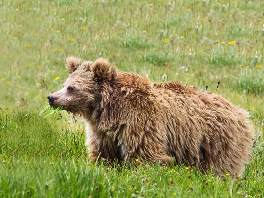 Himalayan brown bear from Deosai National Park, Pakistan. A new study ties DNA from purported Yetis to Asian bears, including Himalayan brown bears.