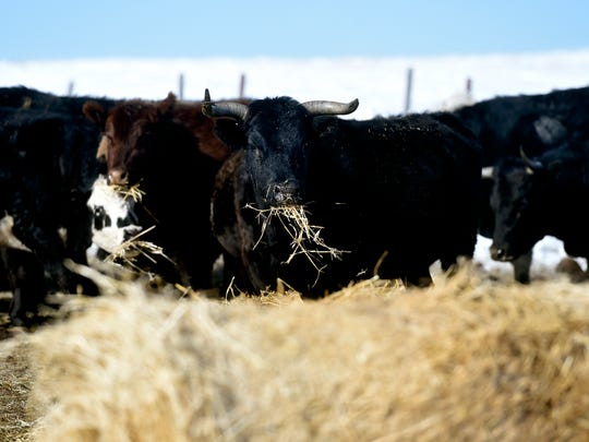 Montana cattle on a Cut Bank area ranch