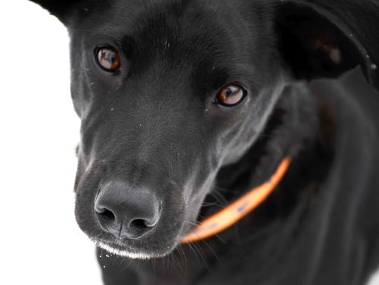 Toby, a black lab mix, lives on Wausau's west side.