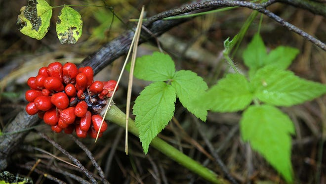 A woodland plant known as jack-in-the-pulpit creates red berries in the fall.