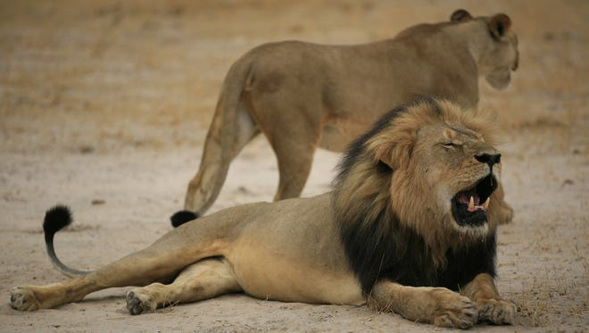 The much-loved Zimbabwean lion, Cecil, seen in October 2012.