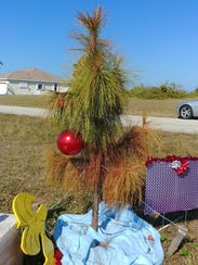 A scraggly slash pine is decorated for Christmas. It