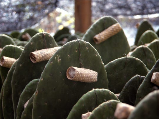 Fresh paddles are inoculated with palm tubes full of live cochineal scale.