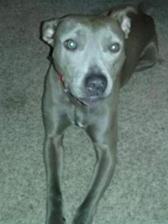 Lost dog blue belle