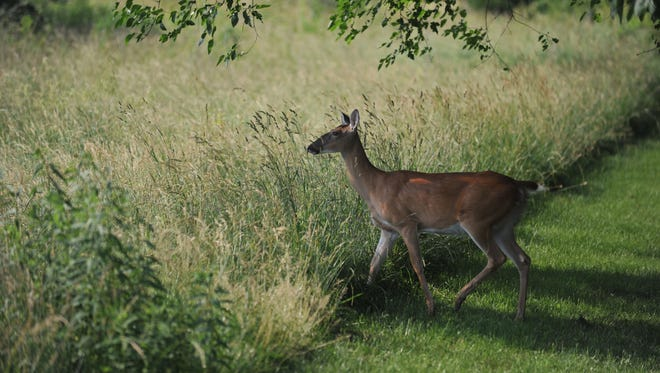 A deer lingers on the edge of a field along Wernle Road in Richmond.