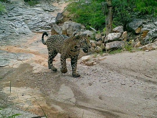 Male jaguar Chiltepin at the Northern Jaguar Reserve