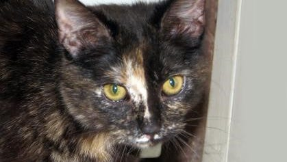 Bianca is an affectionate tortoise shell cat waiting for adoption at the Humance Society of Lincoln County shelter on Gavilan Canyon Road.