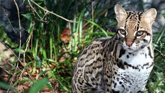 Nirvana the ocelot was left for dead at a vet due to her extreme dehydration, before being taken in by Big Cat Rescue.