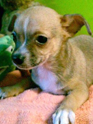 Littles, a 2-month-old Chihuahua, was reported stolen from the 200 block of South Sixth Street on Wednesday.
