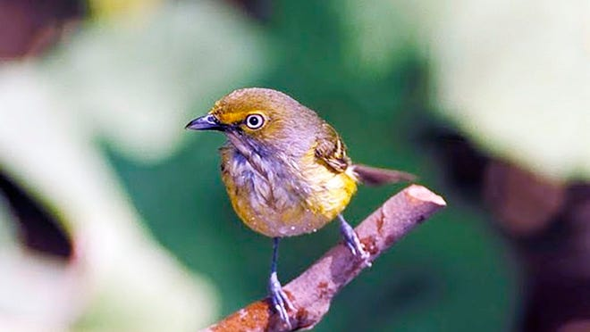 The white-eyed vireo (pictured above) is one of a number of bird species that will be discussed during a Missouri Department of Conservation online bird program on Aug. 5.