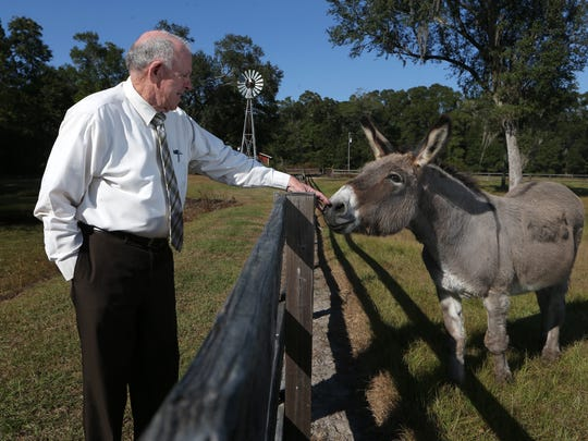 Willie Meggs, who will retire this year after a 32-year-career as Florida State Attorney in Tallahassee, tends to his male rescue mule Digger at his home on Thursday, Nov. 10, 2016.
