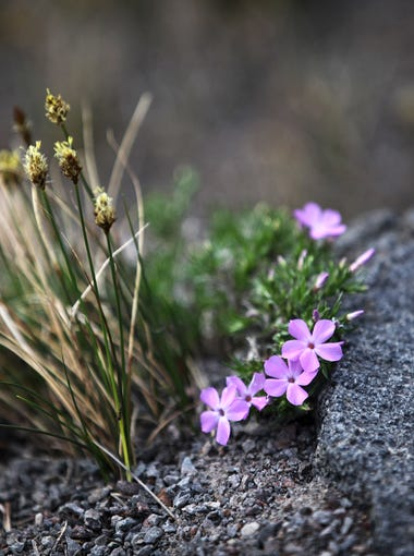 Crater Lake, Oregon's only national park, features nearly unlimited recreation options in and around the six-mile-wide caldera. One source of stunning views is the hike to the old fire lookout on Watchman Peak, high on the western rim. Flora on the trail.