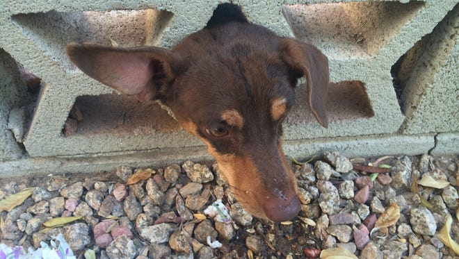 A small dog was rescued by Phoenix firefighters Wednesday morning after having its head stuck in an opening of a brick wall.