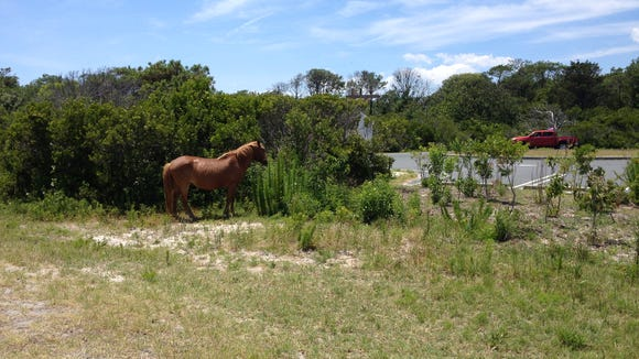 A wild horse is seen here after an Assateague Island National Seashore employee got it to leave the road.