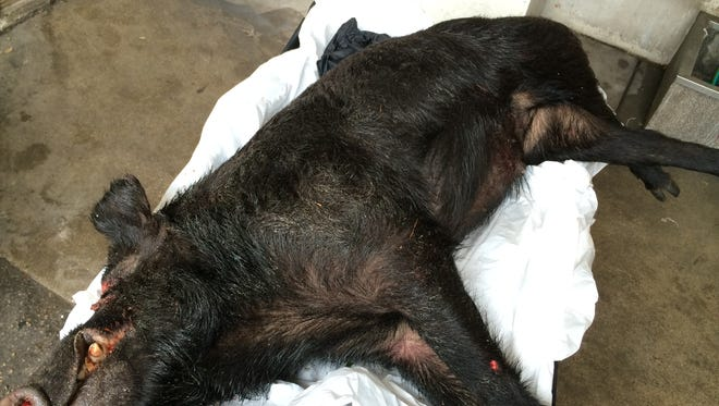 This 150-pound wild boar was killed by Marco Island, Fla., police after it presented a nuisance at Charter Club of Marco Island.