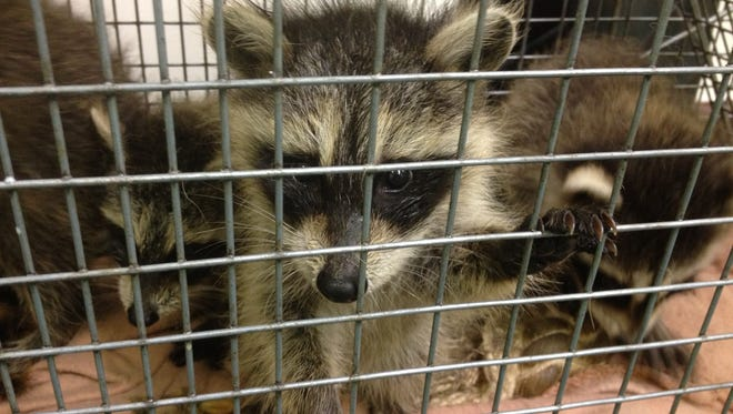 Baby raccoons that were abandoned in Mount Kisco. The animals may have rabies and the Westchester Department of Health wants to find whoever took care of the animals to make sure that person doesn't have the disease.