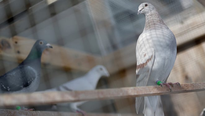 Racing pigeons perch in New Boston, Mich., on Sunday, Feb. 23, 2014. State Sen. Hoon-Yung Hopgood, D-Taylor, whose district includes Allen Park, recently sponsored a bill to allow for municipalities to regulate pigeon-keeping practices.