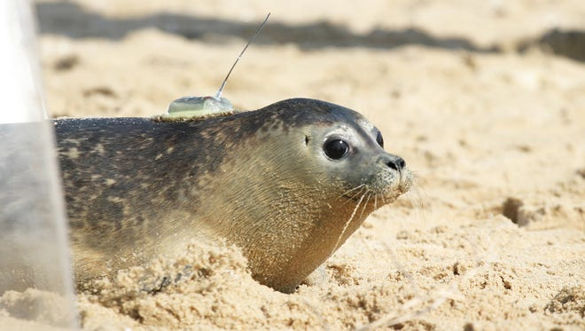 Secca, a harbor seal, was released onto the beach at 40th Street in Ocean City by the National Aquarium in Baltimore's Marine Rescue Program after spending some time in rehab with the program in this file photo.