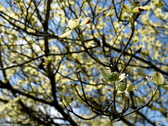 A dogwood tree blooms along the Cherokee Trail Monday,
