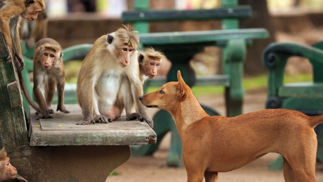 Monkeys encounter a dog in the town.