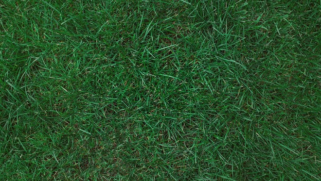 Kentucky bluegrass prefers sunny, well-drained locations.