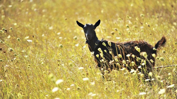 """In the tall, dried grasses a goat stirs with nozzle searching the ground."""