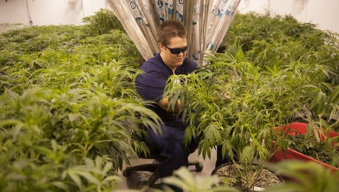 Alec Mog of Franklinville trims marijuana plants at Compassionate Sciences in Bellmawr.