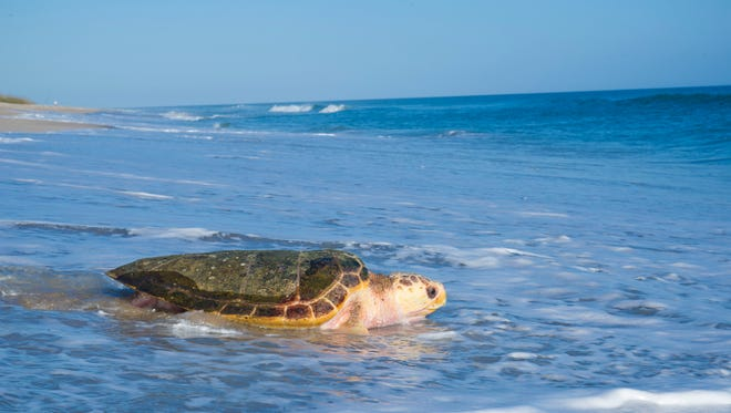 SeaWorld officials released a rehabilitated endangered loggerhead sea turtle Wednesday at Canaveral National Seashore.