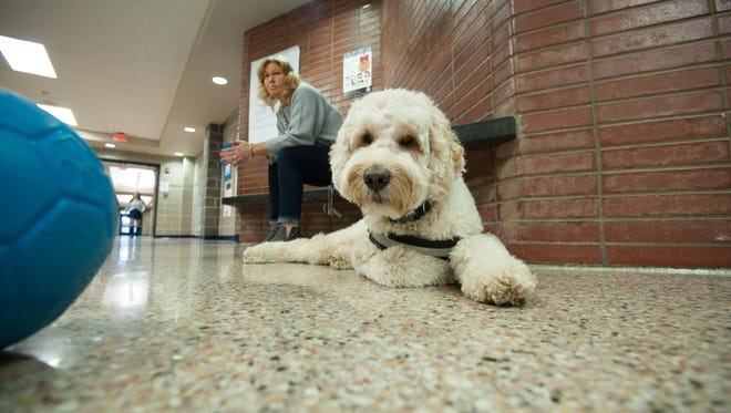 """12/08/16 Highlands NJ. """"Hudson"""" a GoldenDoodle therapy dog spends his days with students at Henry Hudson Regional School. In background is paraprofessional Paige Davis who was escorting """"Hudson"""" today. photo ny James J Connolly/Correspondent"""