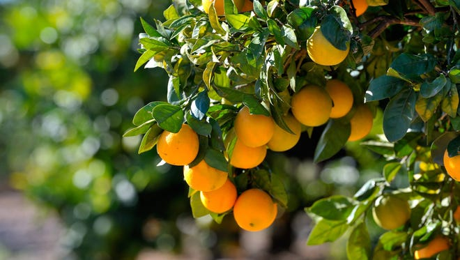 Could citrus groves in Martin County go the way of the dinosaur?